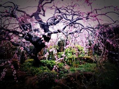 お寺の梅〜iPhoneで
