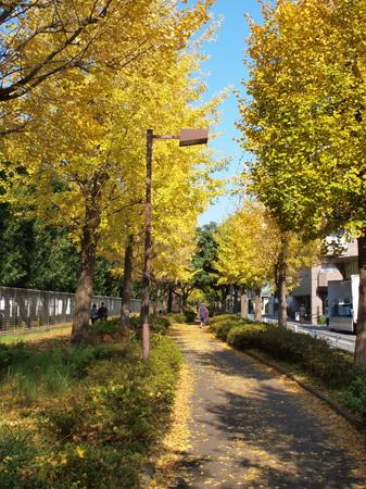 近所の銀杏並木