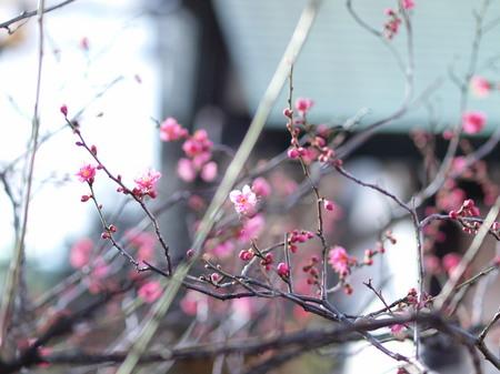 神田明神の梅の花1