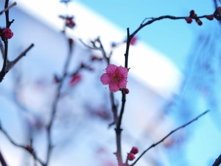 神田明神の梅の花2