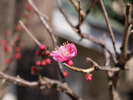 神田明神の梅の花5