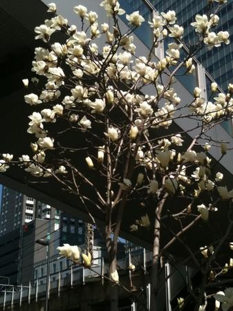 コブシの花〜1