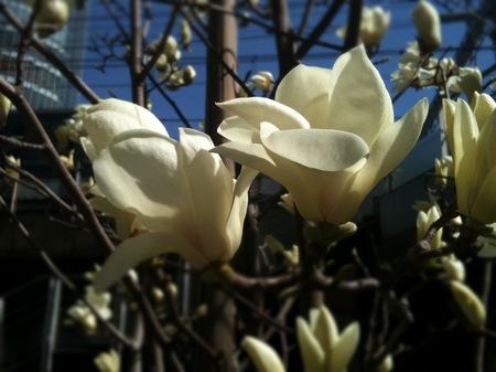 コブシの花〜3