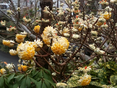 ミツマタの花1