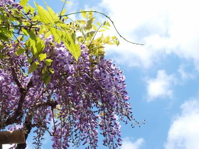 藤の花と青空1