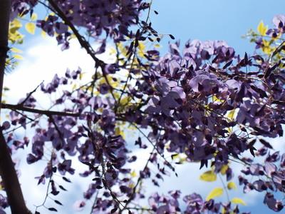 藤の花と青空2