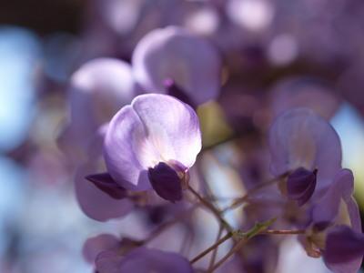 藤の花をアップで2