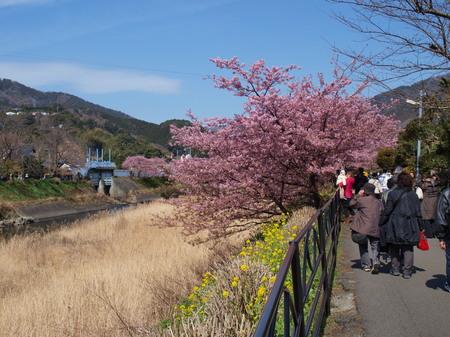 河津桜祭り〜4