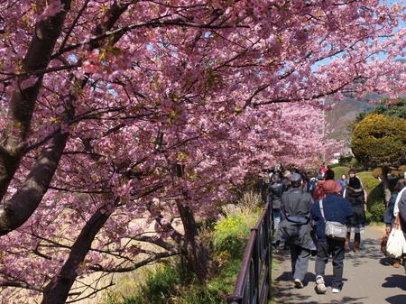 河津桜祭り〜1