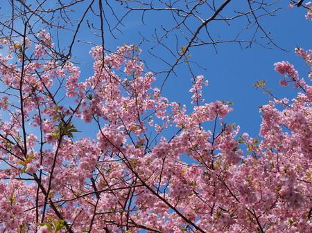 河津桜祭り〜3