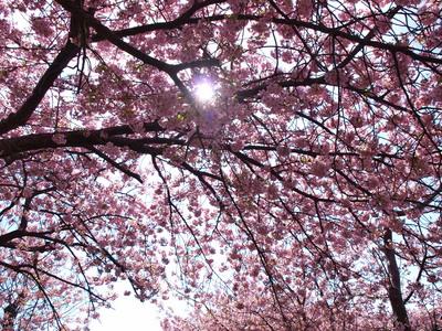 河津桜を逆光で♪1