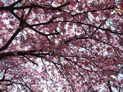河津桜を逆光で♪2