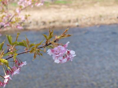 河津桜のアップ1
