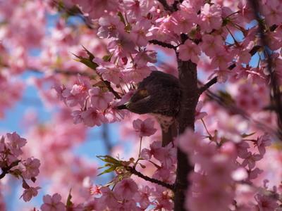 桜とヒヨドリ3