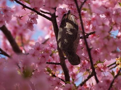 桜とヒヨドリ4