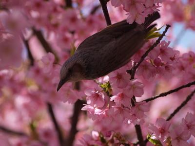 桜とヒヨドリ2