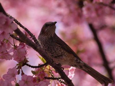 桜とヒヨドリ1
