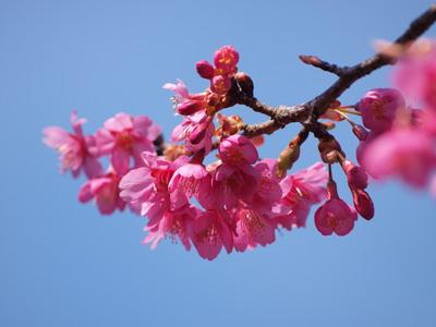 河津桜のアップ2