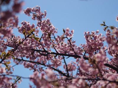 河津桜を逆光で♪3