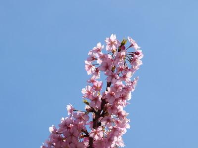 河津桜のアップ3