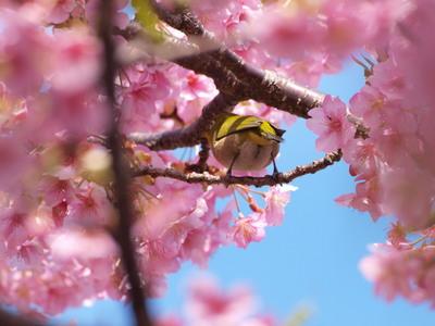 桜とメジロ4