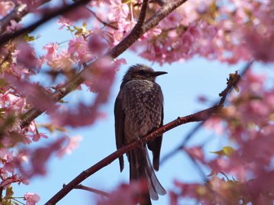 桜とヒヨドリ5