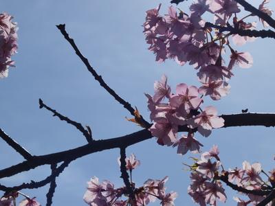 河津桜を逆光で♪4