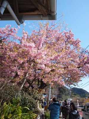 河津桜の原木1