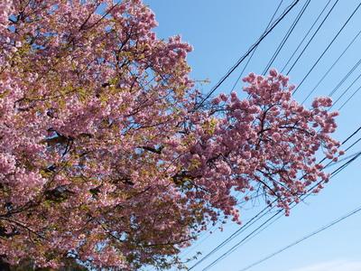 河津桜の原木3