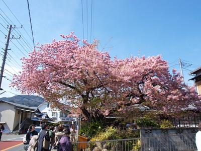 河津桜の原木2