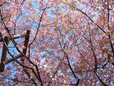 河津桜の原木5