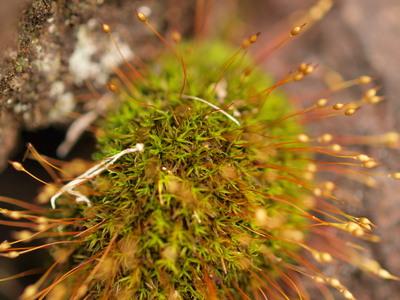 苔のつぼみ2